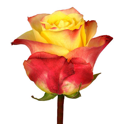 Roses - Hot Merengue - 100 Stems