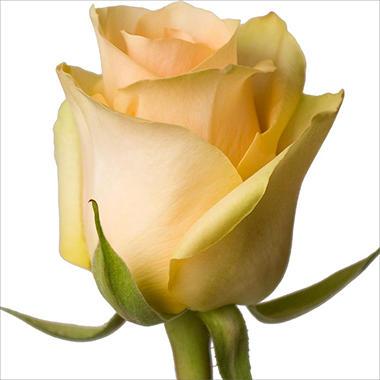 Roses - Nectarine - 100 Stems