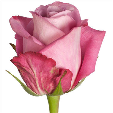 Roses - Opus - 100 Stems