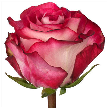 Roses - Riviera - 100 Stems