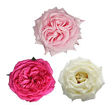 Garden Roses - Pink and White (36 stems)