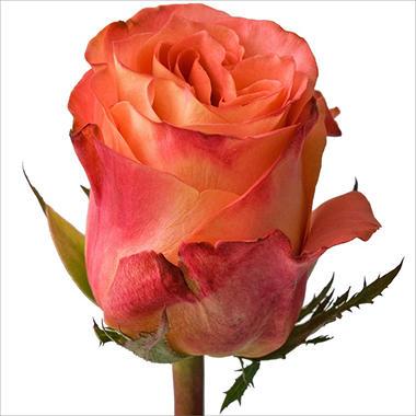 Roses - Wild Spirit - 100 Stems