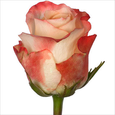 Roses - Farfalla - 100 Stems