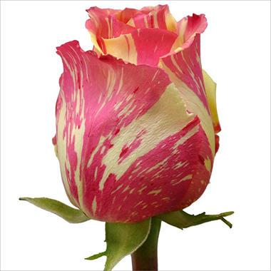 Roses - Fiesta - 125 Stems