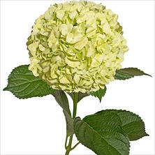 Hydrangeas - Lime Green - 30 Stems