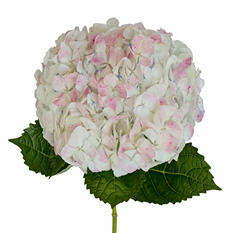 Hydrangeas - Antique Pink - 12 Stems
