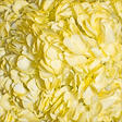 Hydrangeas - Yellow - 26 Stems