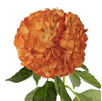 Hydrangeas - Orange - 26 Stems