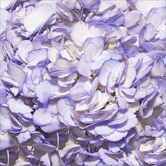 Hydrangeas - Hand Painted Lavender - 26 Stems