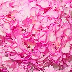 Hydrangeas - Hand Painted Hot Pink - 26 Stems