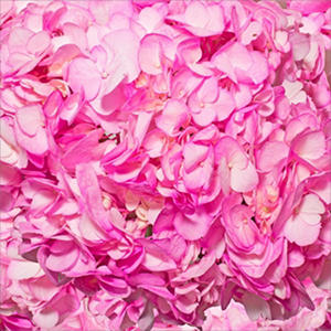 Hydrangeas - Hand Painted Hot Pink - 26 Stems??