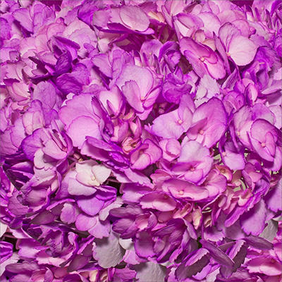 Hydrangeas - Lilac - 26 Stems