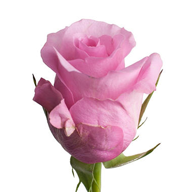 Blushing Akito Roses (50 or 100 stems)