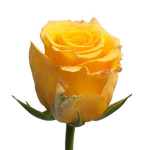 Sonrisa Roses (50 or 125 stems)