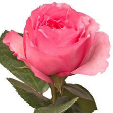 Garden Roses - Mayra  (40 Stems)