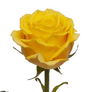 Bikini Roses (50 or 100 stems)