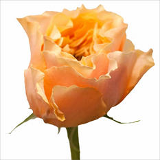 Garden Roses - Cara Luna (40 Stems)