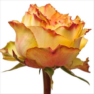 Garden Roses - Monster  (40 Stems)