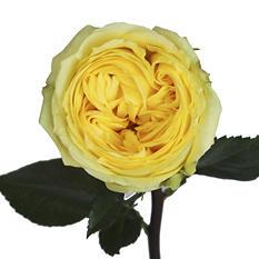 Garden Roses - Catalina (40 Stems)