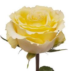 Cubana Roses - 50 Stems
