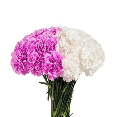 Carnations Wedding Pack, White & Lavender (200 Stems)