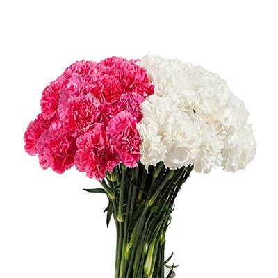 Carnations Wedding Pack, White & Hot Pink (200 Stems)
