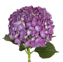 Hydrangeas - Elite Purple  - 26 Stems