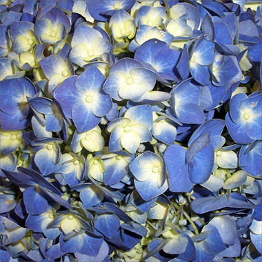 Hydrangeas - Shocking Blue (26 Stems)