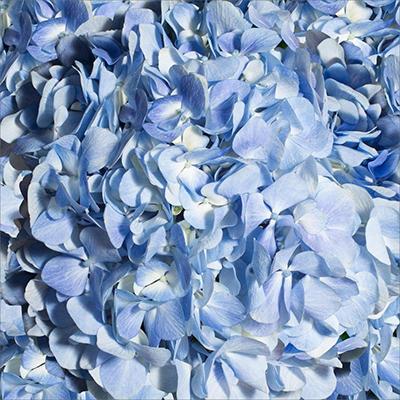 Hydrangeas - Blue - 30 Stems
