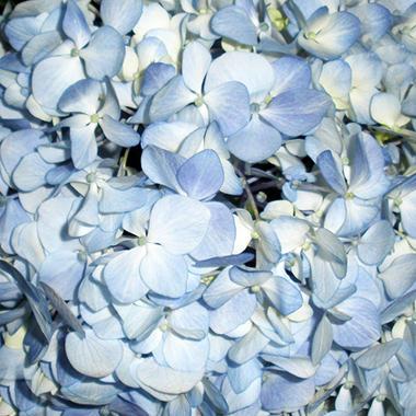 Jumbo Hydrangeas - Blue - 12 Stems