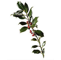 Green Holly - 5 Pack