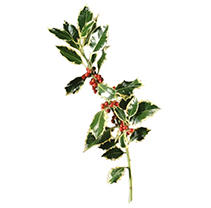 Variegated Holly - 5 pk.