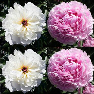 Sarah Bernhardt White Peonies - 100 Stems