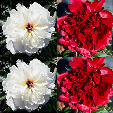 Red and White Peonies - 100 Stems