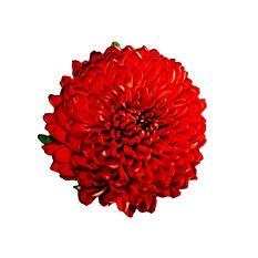 Cremons, Red - Choose 40 or 80 Stems