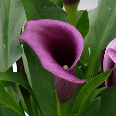 Calla Lily - Purple - 50 Stems