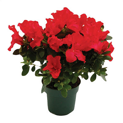 "4.5"" Red Keepsake Azalea - 6 pk."