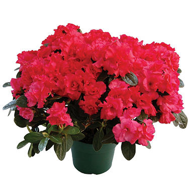 "6"" Keepsake Azalea - Red - 4 pk."