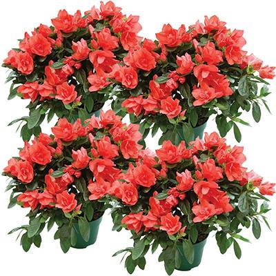 "6"" Keepsake Azalea - Coral - 4 pk."