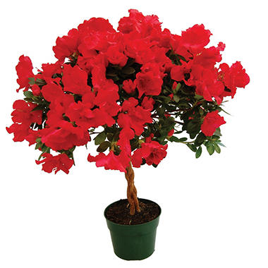"6"" Keepsake Azalea Tree - Red - 4 pk."