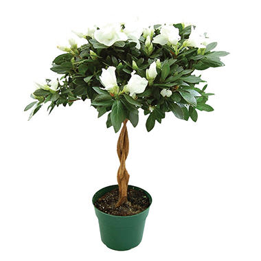 "6"" Keepsake Azalea Tree - White - 4 pk."