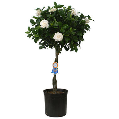 "10"" Gardenia Braided Tree"