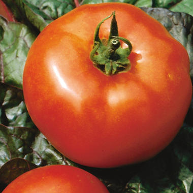 Organic Big Boy Tomato Plants - 3 pk.