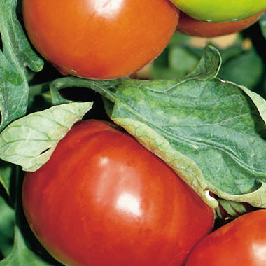 Organic Champion Tomato Plants - 3 pk.
