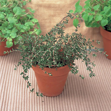 Organic Thyme Herb Plants - Package of 3