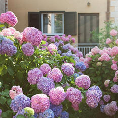 Hydrangea or Lilac Shrubs - 2 Pack