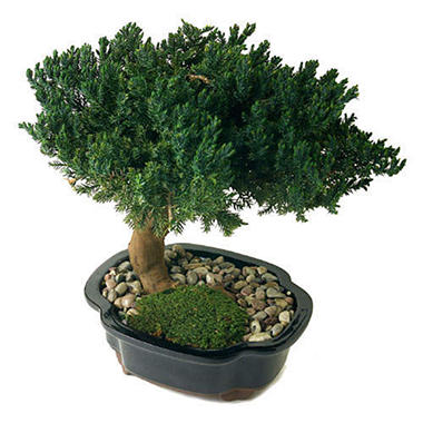 Single Monterey Bonsai - 8