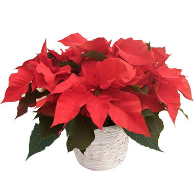 "6.5"" Red Poinsettia"