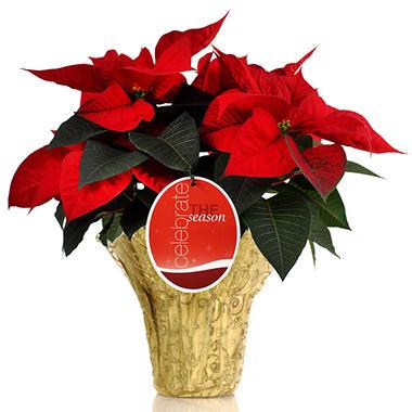 Stylish Gift Premium Poinsettia