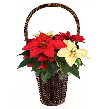 Poinsettia In A Natural Basket